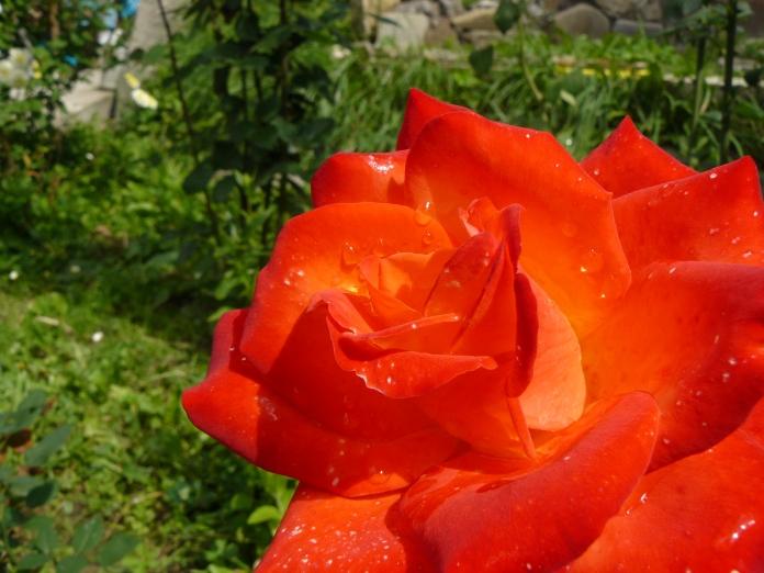 Foto trandafir cu stropi de roua si lumina de soare