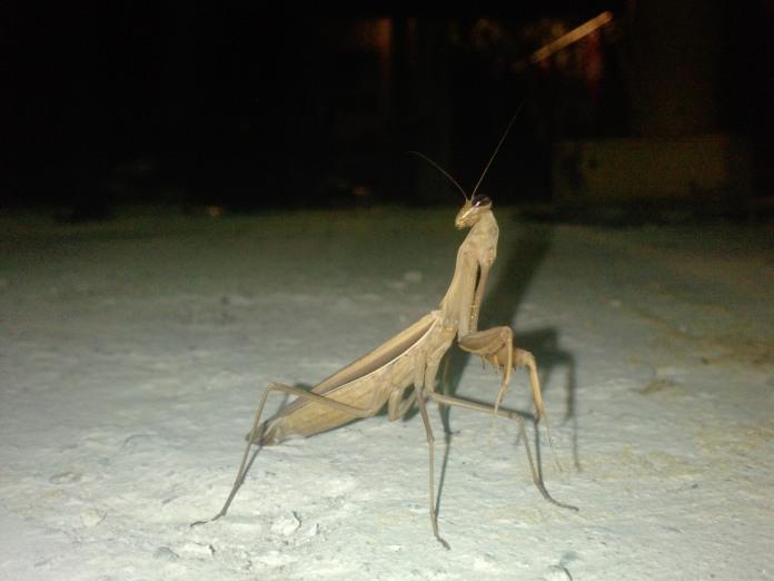 Foto insecta calugarita - Mantis Religiosa