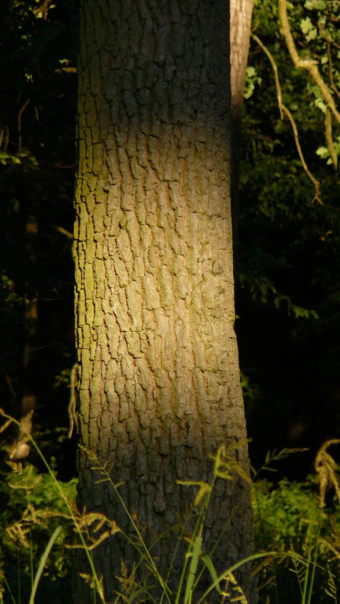 Foto apus, lumina difuza pe trunchi de copac