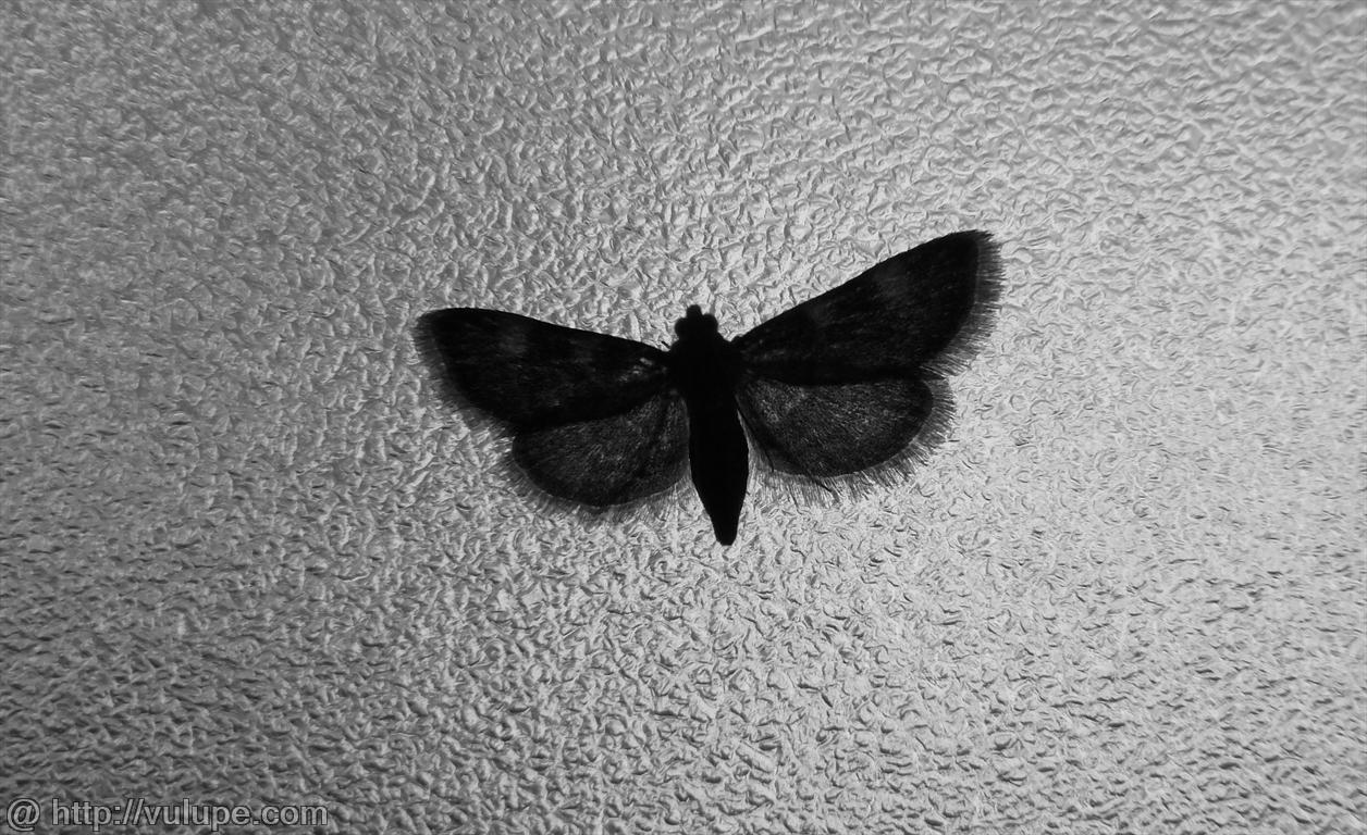 Fluture matinal